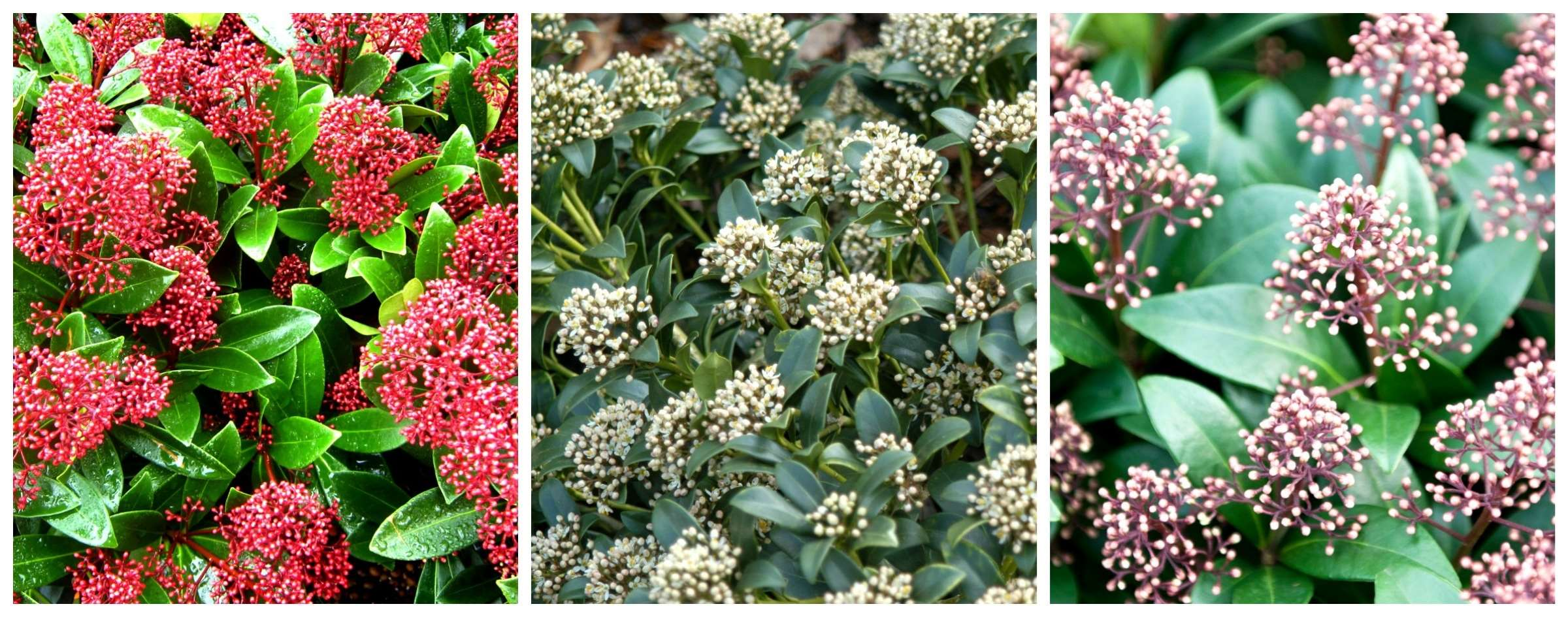 skimmia collage large